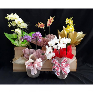 Orquídea Média VARIADA